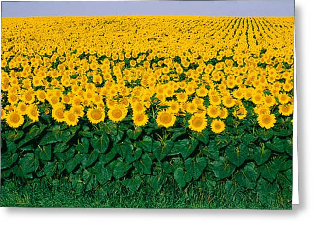 Sunflower Field, Maryland, Usa Greeting Card by Panoramic Images