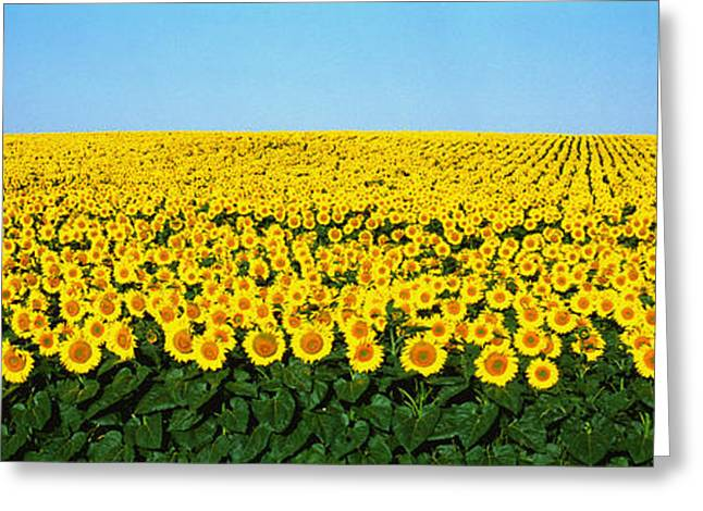 Sunflower Field, North Dakota, Usa Greeting Card by Panoramic Images