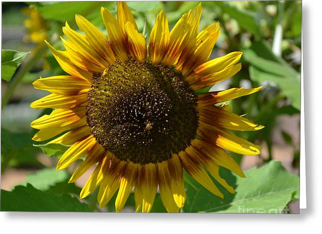 Sunflower Glory Greeting Card by Luther Fine Art