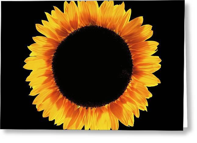 Sunflower (helianthus Annuus) Greeting Card by Gilles Mermet