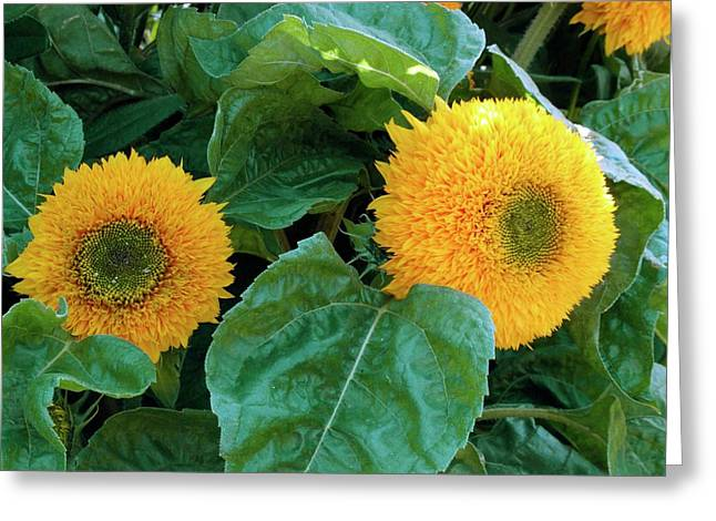 Sunflower (helianthus Annuus Tuberosus) Greeting Card by D C Robinson