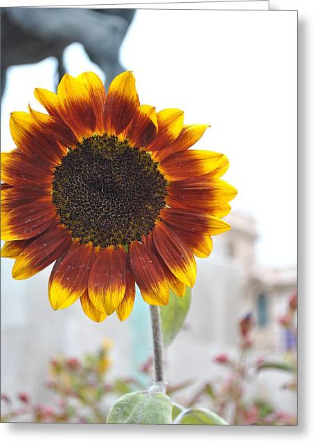 Sunflower In Balboa Park Greeting Card by Misty Stach