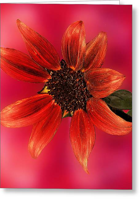 Sunflower In Red Greeting Card by Viktor Savchenko