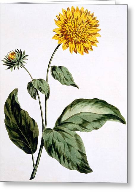 Sunflower Greeting Card by John Edwards