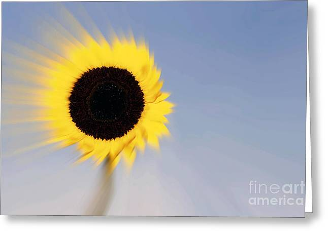 Sunflower Light Rays In The Wind  Greeting Card