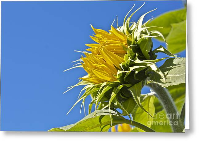 Greeting Card featuring the photograph Sunflower by Linda Bianic