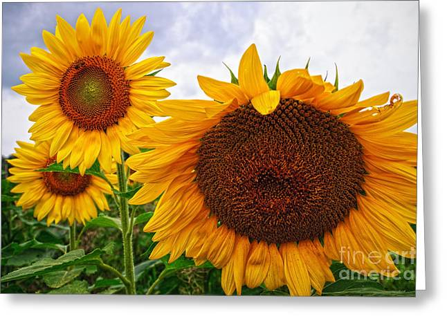 Sunflower Mama And Her Daughters  Greeting Card