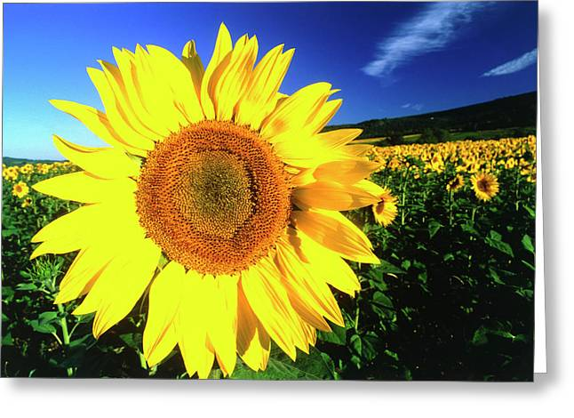 Sunflower, Provence, France Greeting Card
