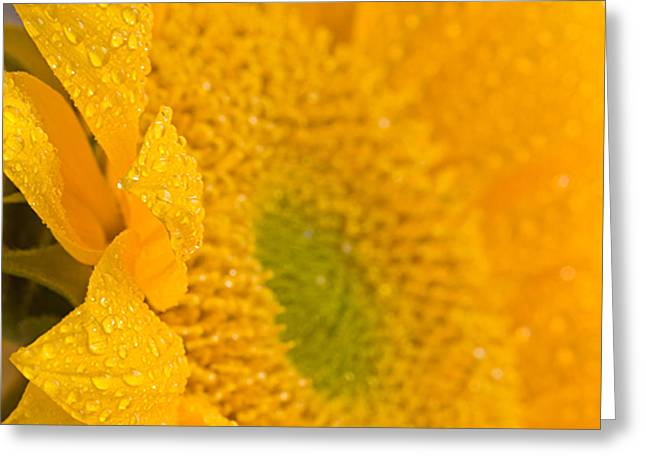 Sunflower Raindrops Greeting Card by Joan Herwig