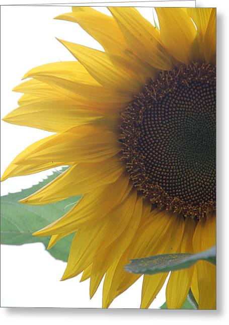 Sunflower Greeting Card by Rebecca Powers