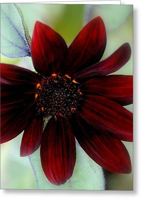 Sunflower Red Greeting Card by Rosanne Jordan