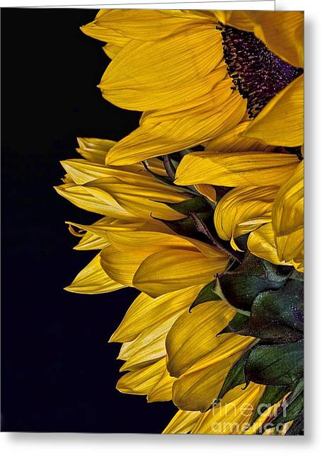 Greeting Card featuring the photograph Sunflower by Shirley Mangini
