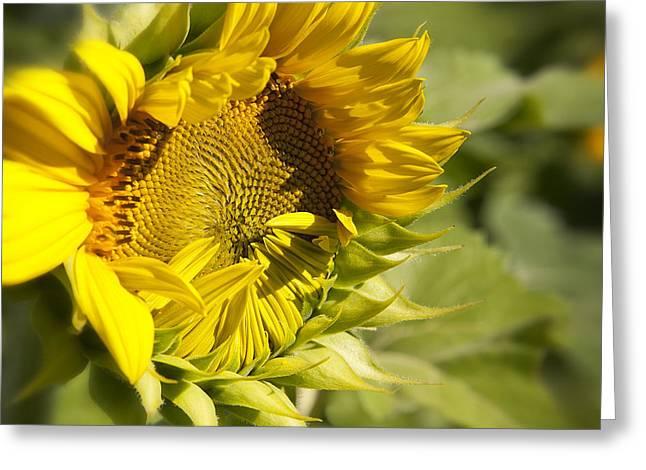 Sunflower Speak No Evil At Mississinewa Greeting Card by Lee Craig