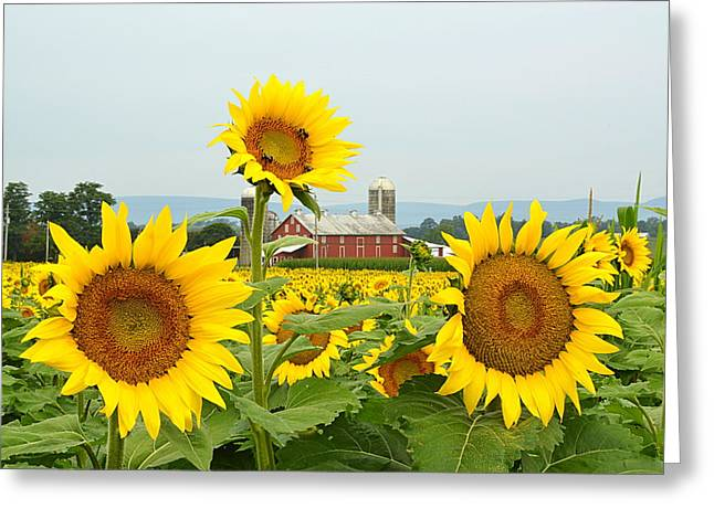 Sunflower Splendor #1 - Mifflinburg Pa Greeting Card