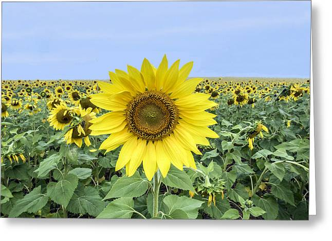 Sunflower Star Of The Show Greeting Card