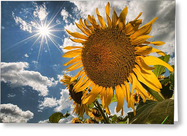 Sunflower Study 2 Greeting Card by Mitchell Brown