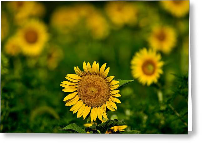 Sunflower Summer Greeting Card by Christopher L Nelson