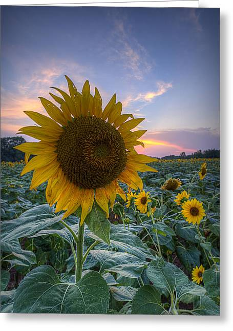 Sunflower Sunset Greeting Card by Michael Donahue
