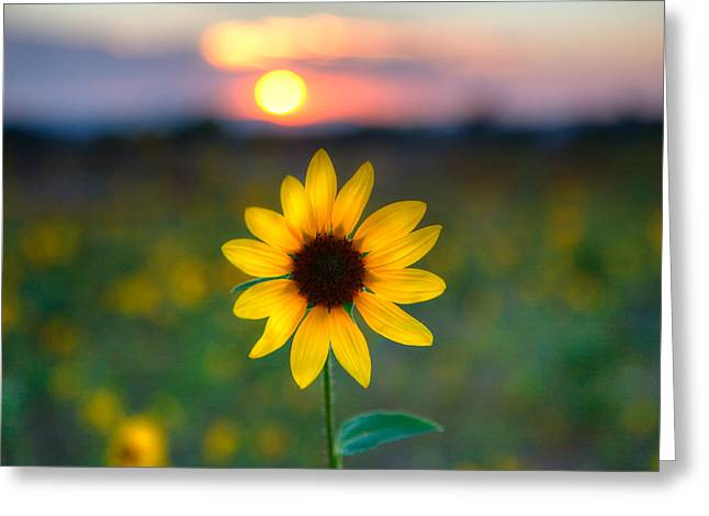 Sunflower Sunset Greeting Card by Peter Tellone