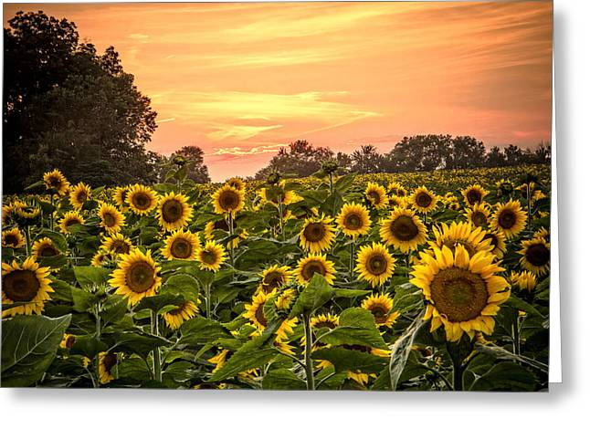 Greeting Card featuring the photograph Sunflower Sunset by Steven Bateson