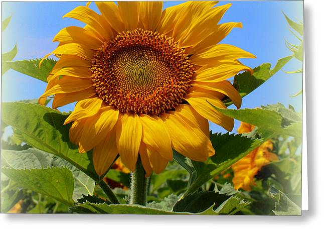 Sunflower Sunshine Greeting Card by Betty Northcutt