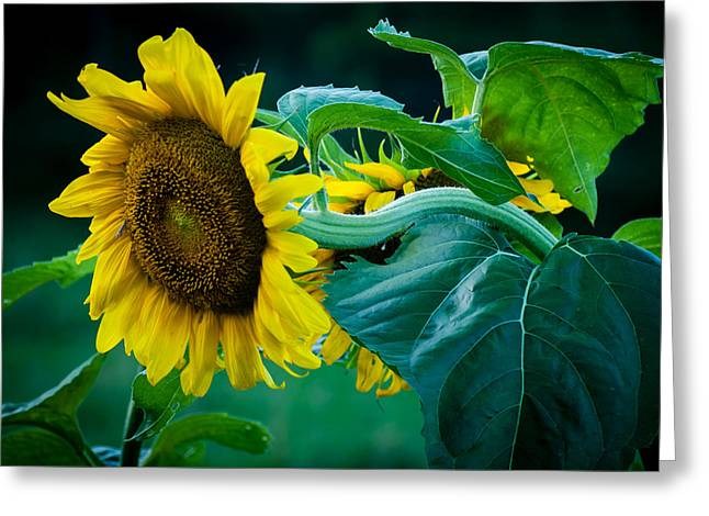 Greeting Card featuring the photograph Sunflower by Wayne Meyer
