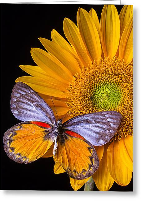 Sunflower With Gray Orange Butterfly Greeting Card by Garry Gay