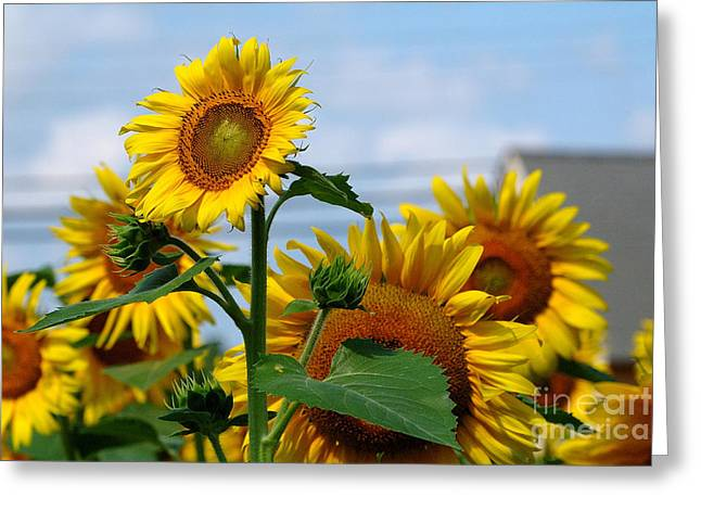 Sunflowers 1 2013 Greeting Card by Edward Sobuta