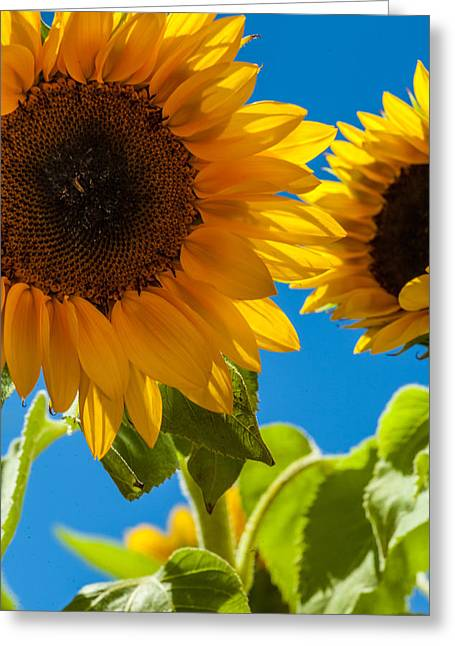 Sunflowers 2 Greeting Card by Dasmin Niriella