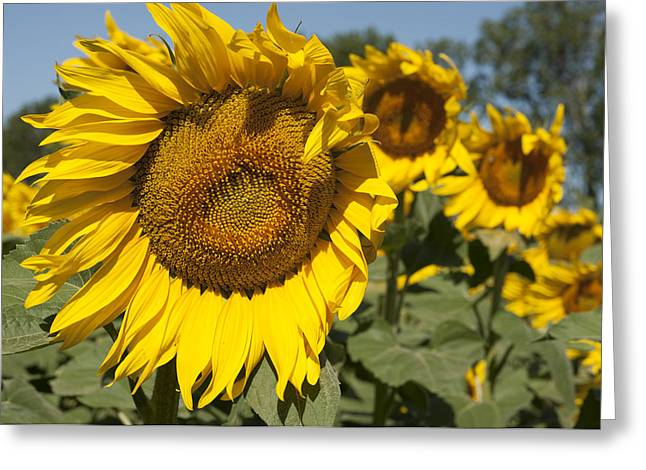 Sunflowers Aglow Greeting Card