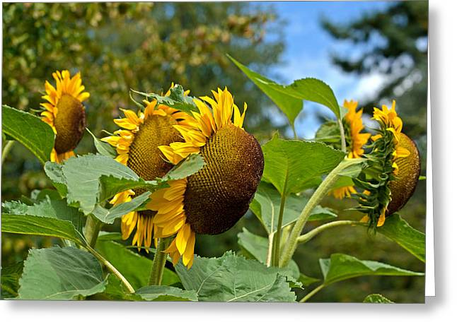 Greeting Card featuring the photograph Sunflowers by Allen Biedrzycki