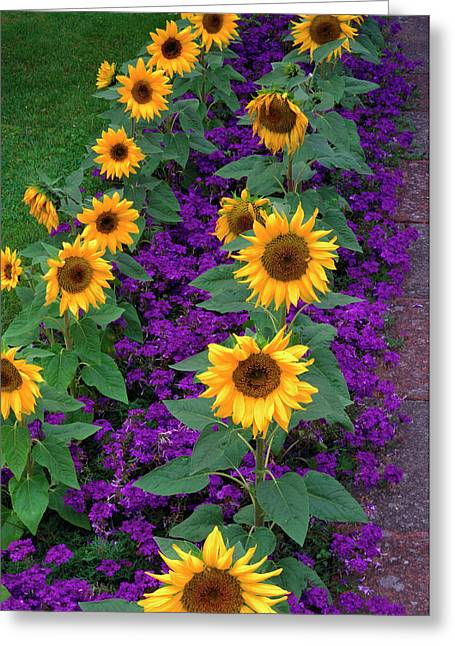 Sunflowers And Verbena Greeting Card