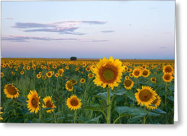 Sunflowers At Sunrise Greeting Card by Ronda Kimbrow