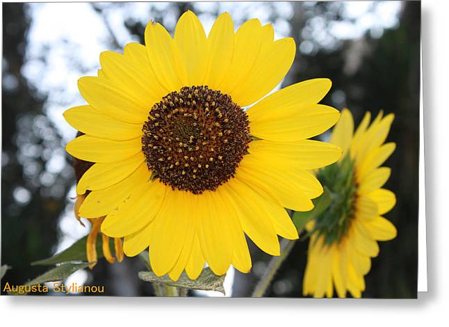 Sunflowers Greeting Card by Augusta Stylianou