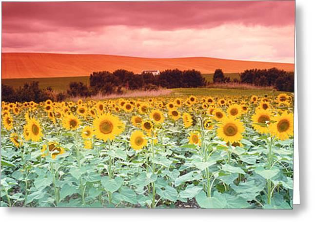 Sunflowers, Corbada, Spain Greeting Card