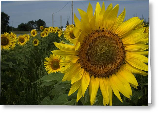 Sunflowers Greeting Card by Diane Lent