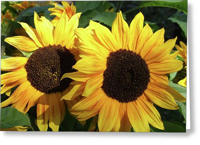 Sunflowers (helianthus Annuus) Greeting Card by D C Robinson