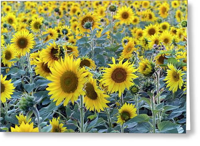 Sunflowers (helianthus Annuus) Greeting Card by Daniel Sambraus