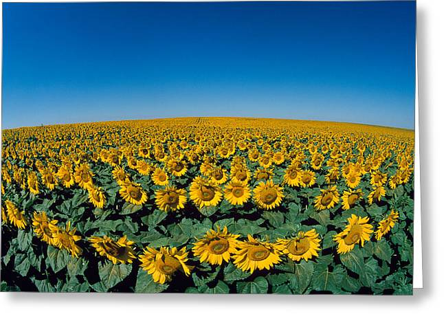 Sunflowers Helianthus Annuus In A Field Greeting Card by Panoramic Images