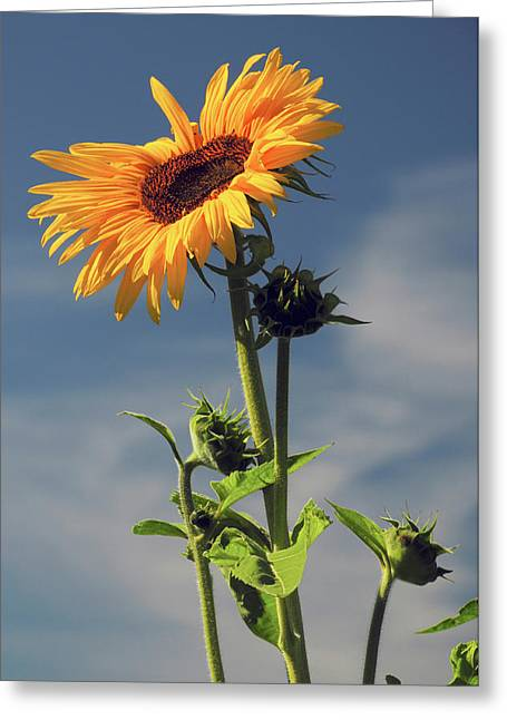 Sunflowers, Hood River, Oregon, Usa Greeting Card by Michel Hersen