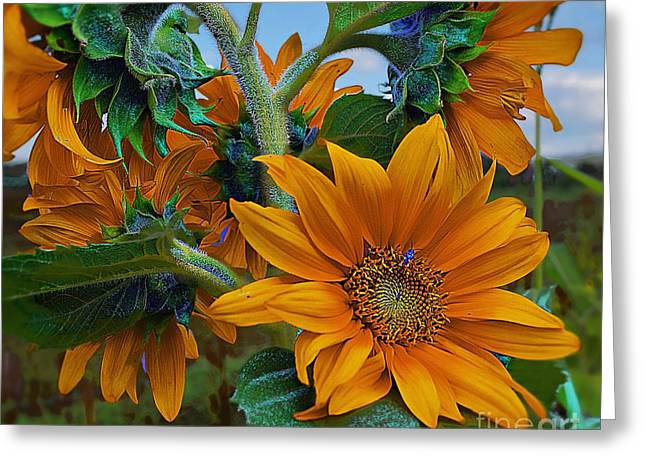 Sunflowers In A Bunch Greeting Card by John  Kolenberg