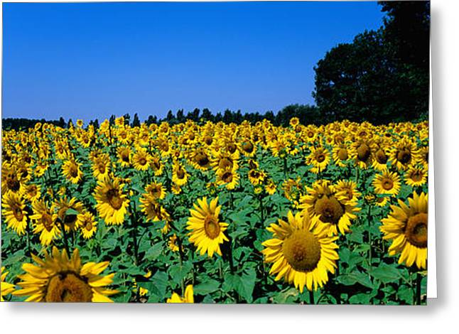 Sunflowers In A Field, Provence, France Greeting Card by Panoramic Images