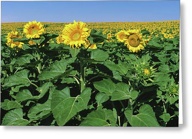 Sunflowers In A Field, U.s. Route 83 Greeting Card by Panoramic Images