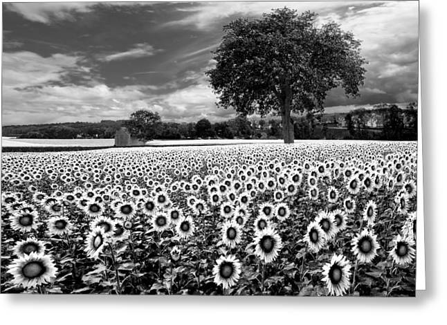 Sunflowers In Black And White Greeting Card by Debra and Dave Vanderlaan