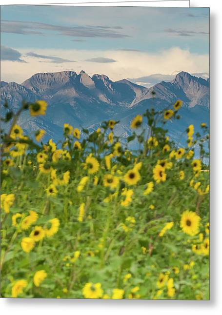 Sunflowers In The San Luis Valley Greeting Card