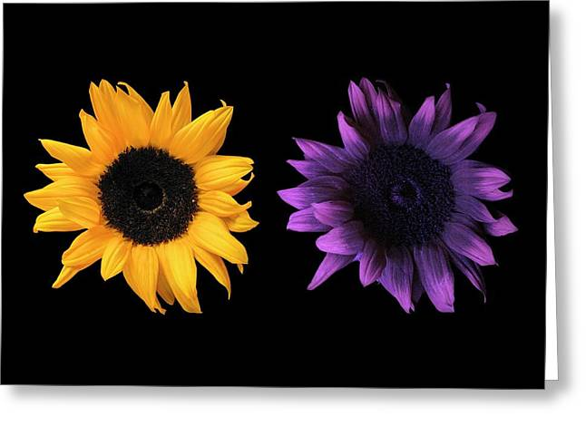Sunflowers In Uv And Daylight Greeting Card by Science Photo Library