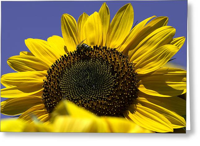 Sunflowers Greeting Card by John Holloway