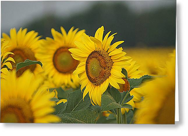 Greeting Card featuring the photograph Sunflowers by Kathy Churchman