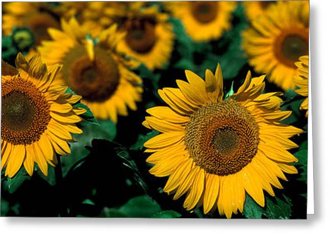 Sunflowers Nd Usa Greeting Card by Panoramic Images