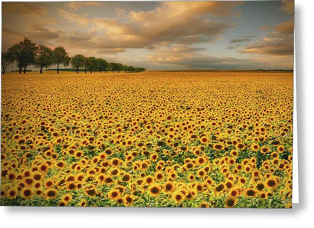 Sunflowers Greeting Card by Piotr Krol (bax)